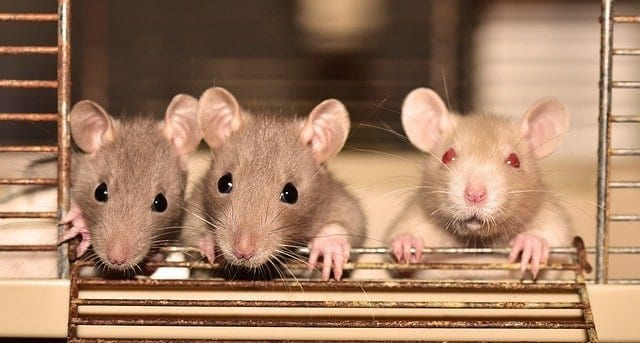 Baby rats in a cage