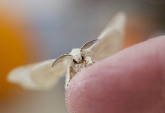 Closeup of a moth on a finger