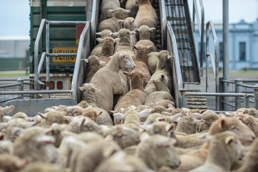 Transporting sheep