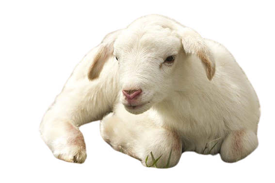 is wool humane? image of a lamb