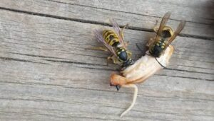 Two wasps eating